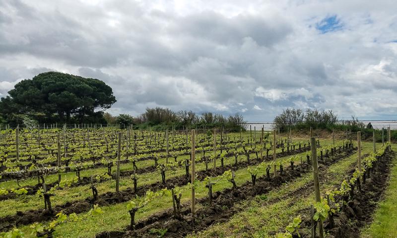Les vignes de l'île d'Aix